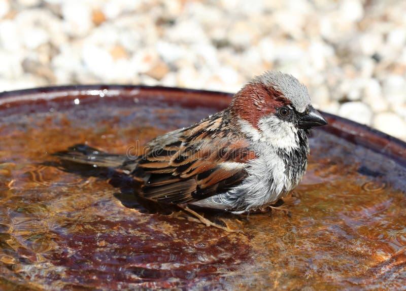 Un passero maschio che bagna fotografia stock