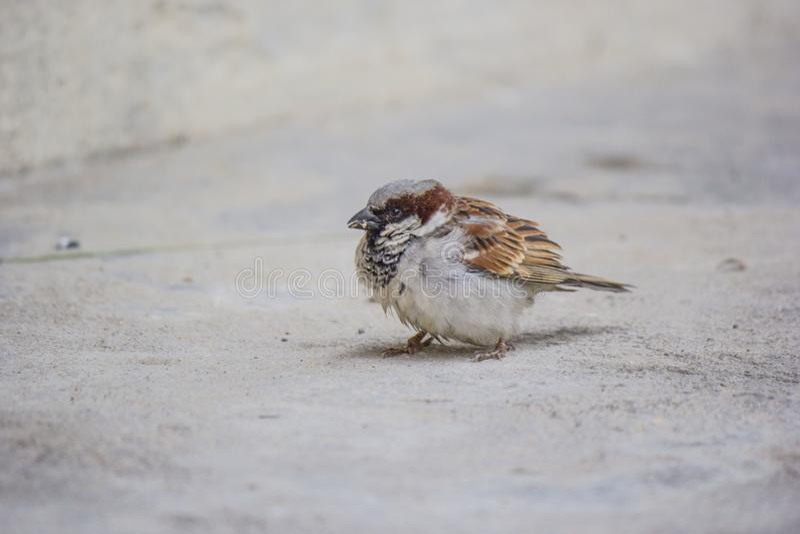 Un passero minuscolo che cerca alimento fotografia stock