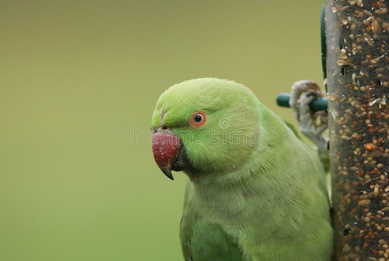 Un pasto con un bel collare o un parrocchetto rosa che si nutre di un alimentatore di semi è il pappagallo naturalizzato più abbo fotografia stock libera da diritti
