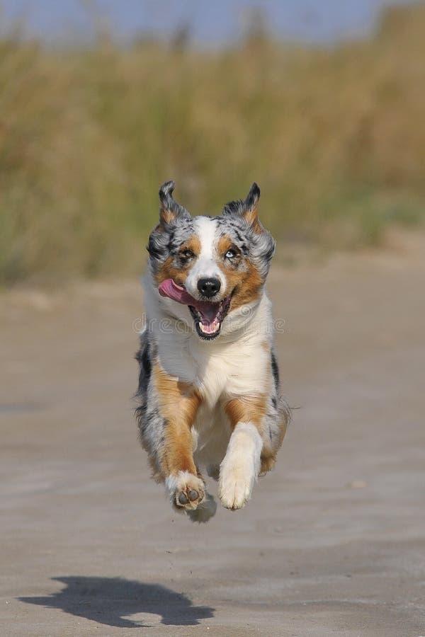 Perro de pastor australiano corriente fotografía de archivo