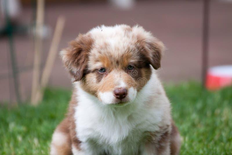 Un pastor australiano del perrito en retrato imágenes de archivo libres de regalías