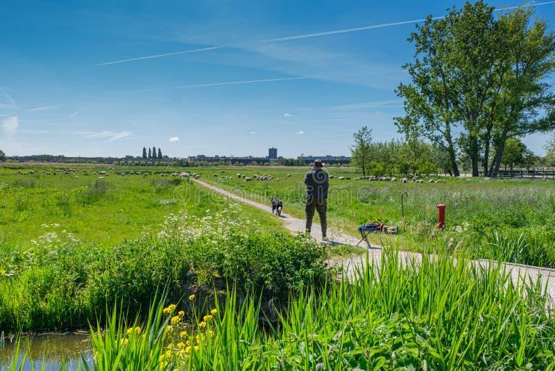 Un pastor con su perro pastor y ovejas en un día soleado en el campo cerca de Rotterdam, los Países Bajos foto de archivo libre de regalías