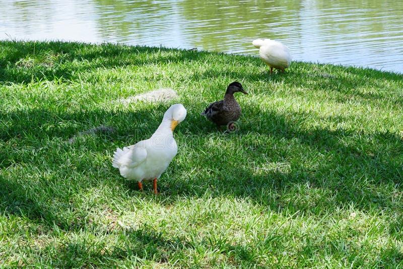 Un pato blanco es el picotear de la pluma imágenes de archivo libres de regalías