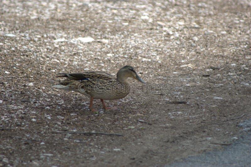 Un pato común del pato femenino, platyrhynchos de las anecdotarios que buscan pequeñas rocas de la piedra caliza para tragar fotografía de archivo libre de regalías