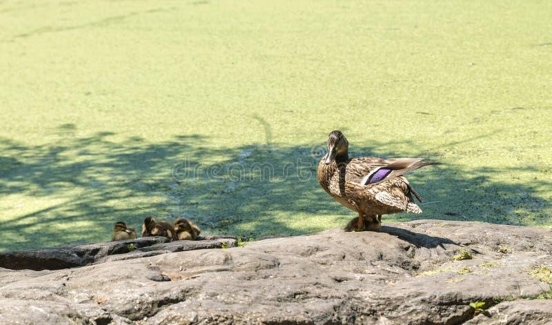 Un pato con los anadones en Central Park en NY fotografía de archivo