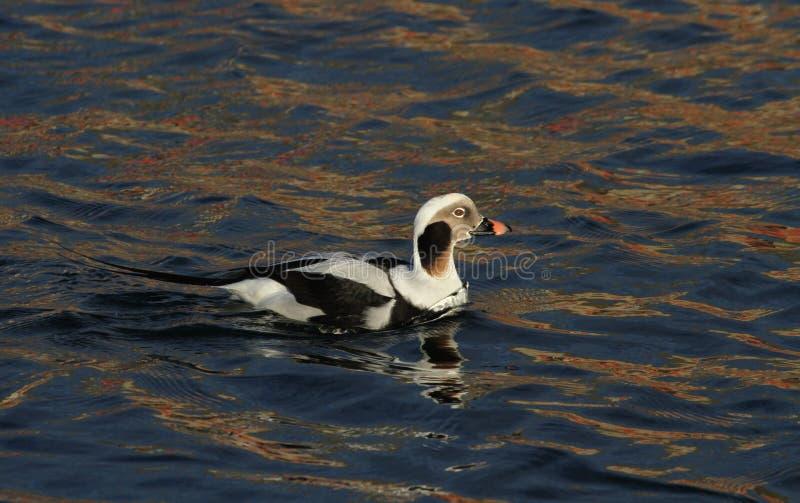 Un pato de cola larga raro, hyemalis del Clangula masculinos en plumaje de la cría, en el mar en Escocia imágenes de archivo libres de regalías
