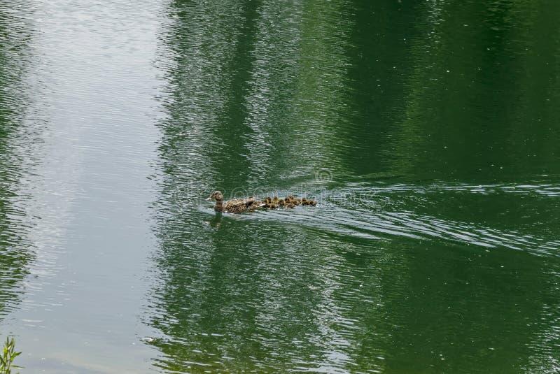 Un pato del pato silvestre de la gallina o platyrhynchos de las anecdotarios y su anadón con las plumas marrones que nadan en un  fotos de archivo