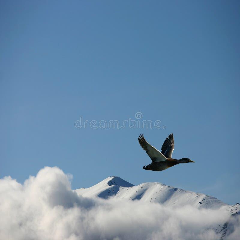Un pato en vuelo imágenes de archivo libres de regalías