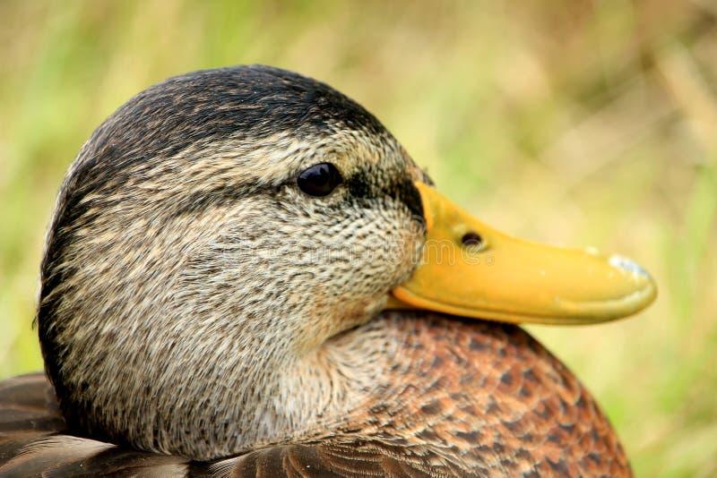 Un pato femenino, primer imagen de archivo libre de regalías