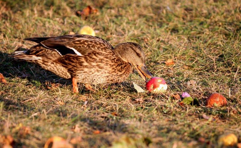 Un pato marrón se coloca en la hierba amarilla del otoño en un manzanar y come una manzana roja fotografía de archivo