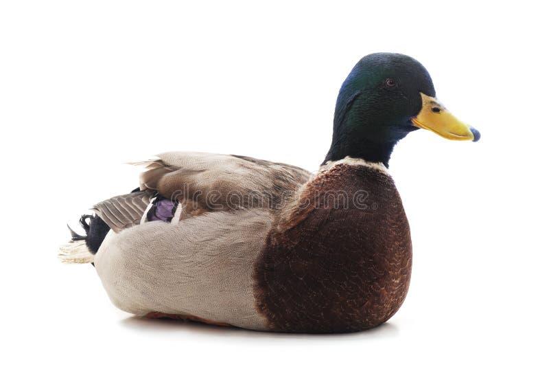 Un pato marr?n fotografía de archivo libre de regalías