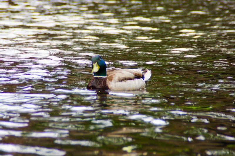 Un pato masculino del pato silvestre que mira el espectador fotos de archivo