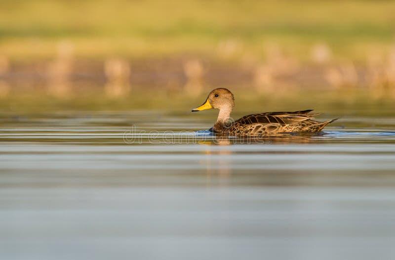 Un pato rojizo cargado en cuenta amarillo en el agua fotos de archivo libres de regalías
