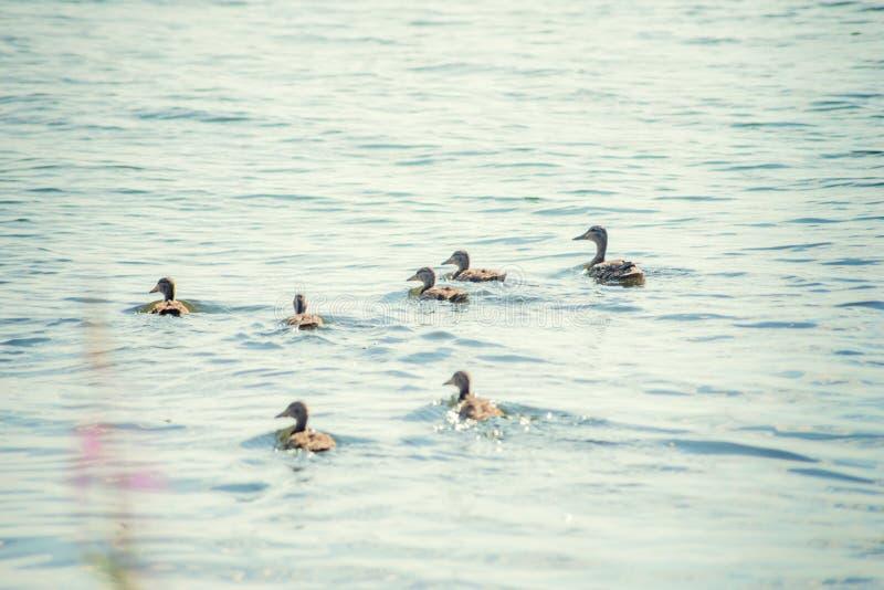 Un pato salvaje con una cría de los anadones que nadan a lo largo del lago imagenes de archivo