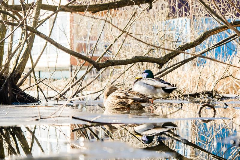 Un pato y Drake en el lago deshelado fotos de archivo