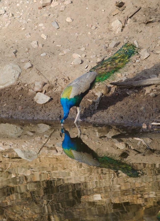 Un pavo real, el pájaro nacional del agua potable de la India de un lago imagen de archivo
