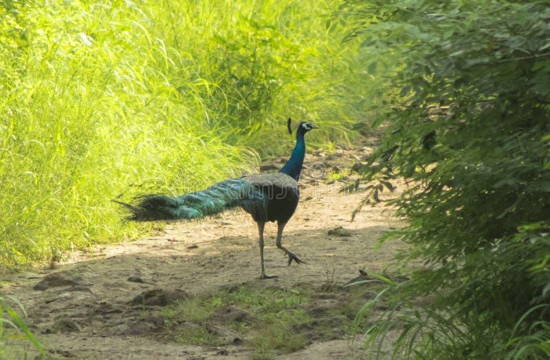 Un pavo real hermoso visto por la mañana fotografía de archivo