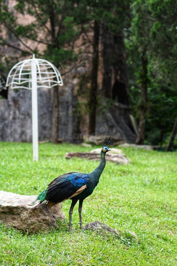 Un pavo real que se coloca en la hierba fotografía de archivo