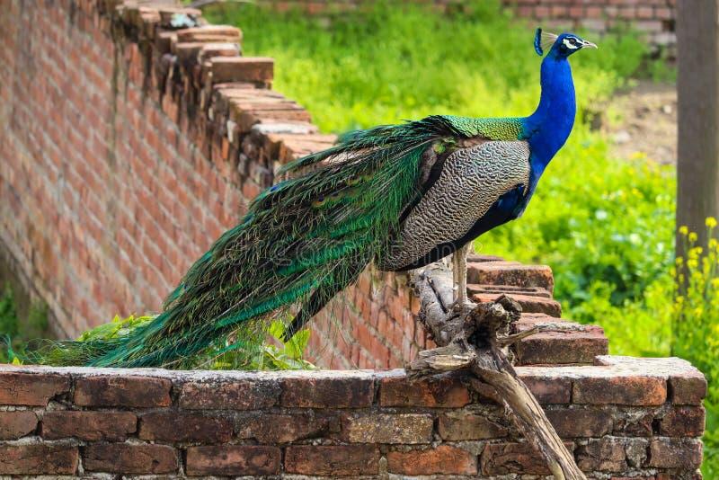 Un pavo real que separa sus plumas imágenes de archivo libres de regalías