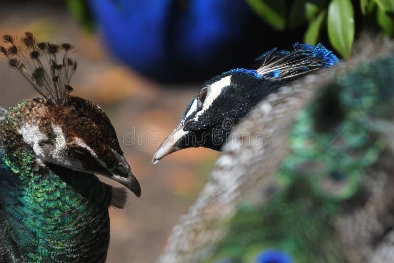 Un pavo real y una pava real que miran cariñosamente a la otra fotografía de archivo