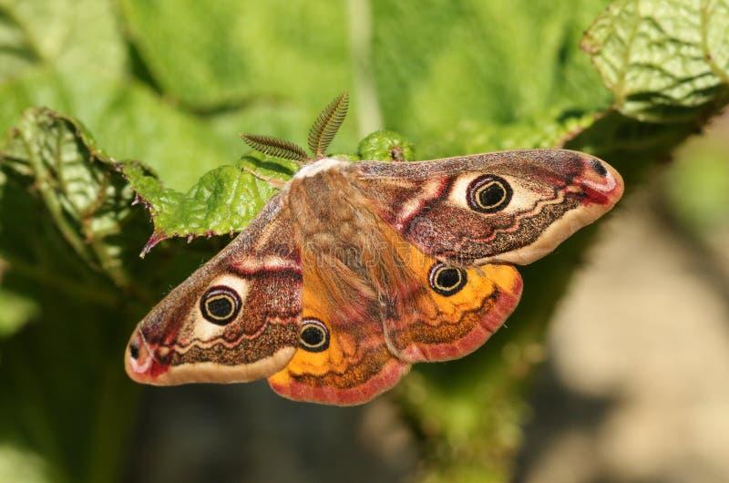 Un pavonia maschio sbalorditivo di saturnia del lepidottero di imperatore che si appollaia su una foglia fotografia stock libera da diritti