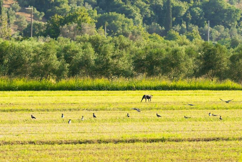 Un paysage bucolique avec un chien à une ferme avec des oiseaux volant autour photos libres de droits