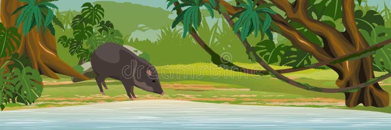 Un pecarí de cuello bebe el agua del lago selva stock de ilustración