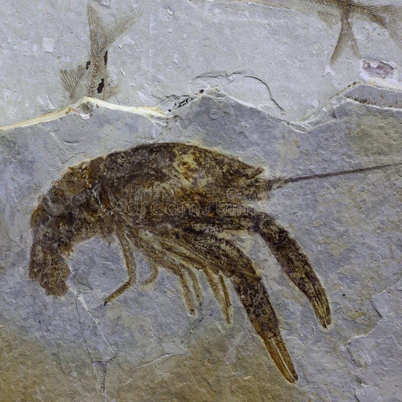 Fósil de la langosta foto de archivo libre de regalías