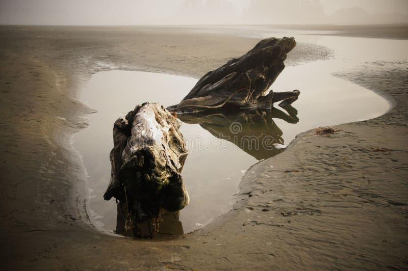 Un pedazo de mentiras resistidas de la madera de deriva en una piscina de agua en un Tofino, playa de Canadá en un día brumoso fotos de archivo