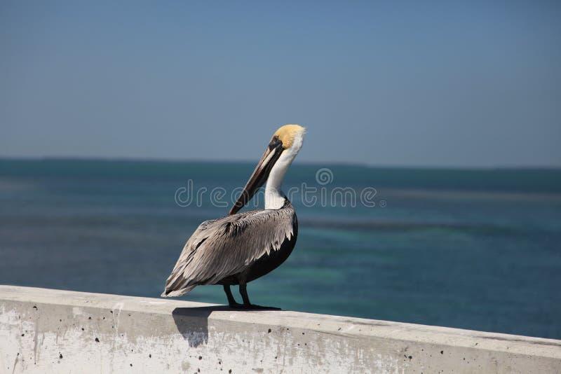 Un pellicano sta stando vicino al mare fotografie stock