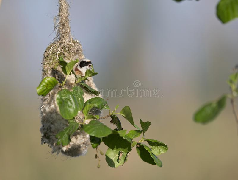 Un pendulinus eurasien adulte de Remiz de mésange de penduline réclamant une femelle hors de son nid ce qu'il fait aux lacs de Li image stock