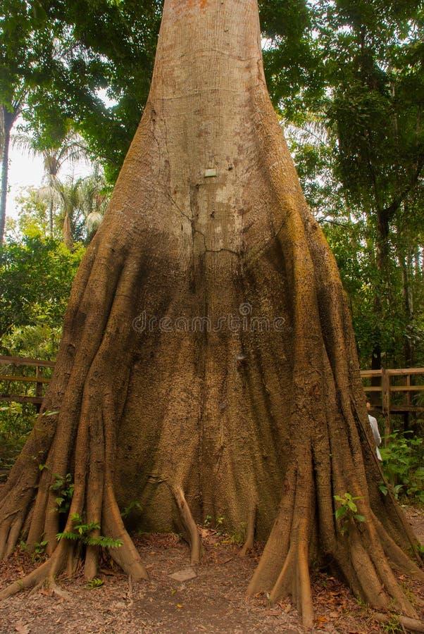 Un pentandra del Ceiba del árbol de Sumauma con más de 40 metros de altura, inundados por las aguas del río del negro en la selva fotografía de archivo libre de regalías