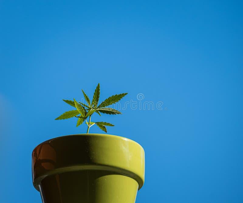 Un pequeño almácigo de la marijuana en un pote verde imagenes de archivo