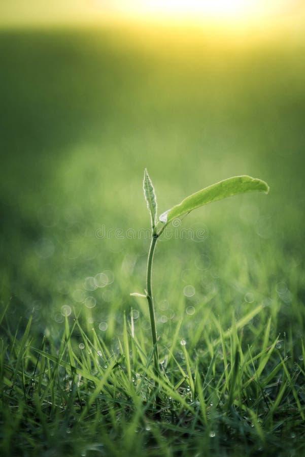 Un pequeño almácigo hermoso de una planta del árbol frutal de Jack que comienza a crecer imágenes de archivo libres de regalías