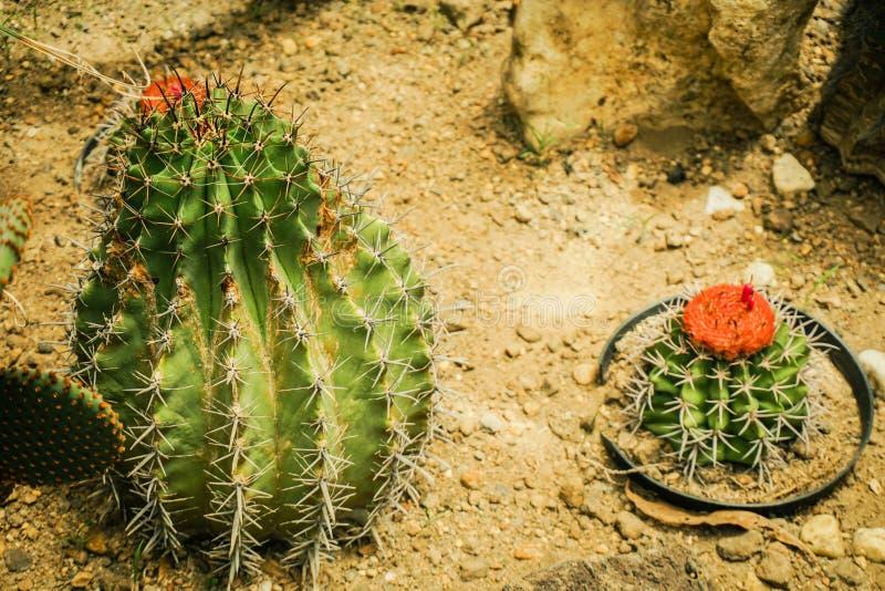 Un pequeño cactus redondeado con forma y el punto del barril con la floración roja de la flor en superior - foto Bogor foto de archivo
