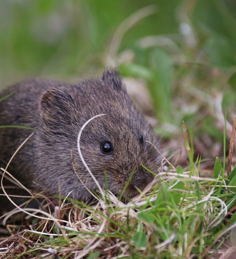 Un pequeño campañol lindo que come la hierba en un par local del santuario de fauna fotos de archivo libres de regalías