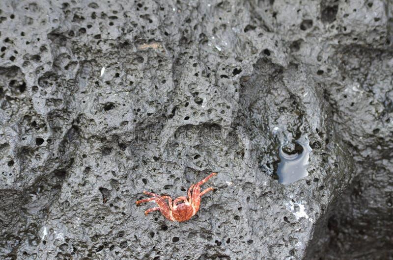 Un pequeño cangrejo anaranjado solitario sienta y espera la marea para venir adentro foto de archivo libre de regalías