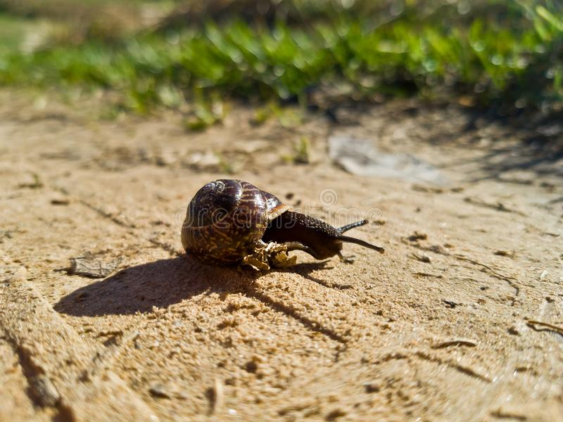 Un pequeño caracol de jardín marrón que se arrastra en la arena El camino en el pueblo fuera de la ciudad Primavera o comienzo de foto de archivo libre de regalías
