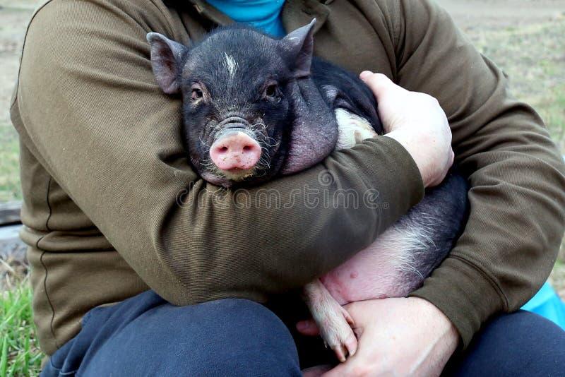 un pequeño cerdo en el man& x27; manos de s imagenes de archivo