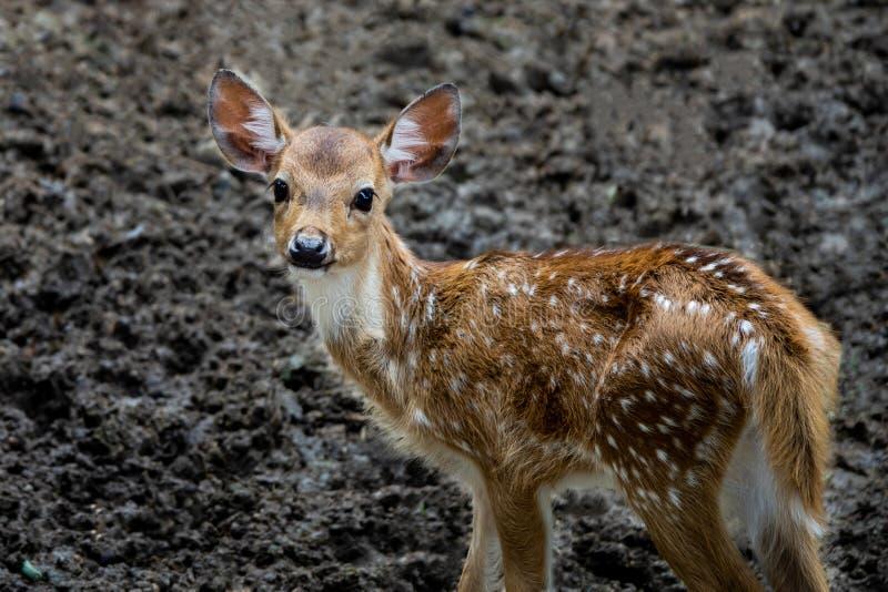Un pequeño ciervo del bebé en el parque zoológico foto de archivo libre de regalías