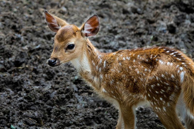 Un pequeño ciervo del bebé en el parque zoológico imagen de archivo