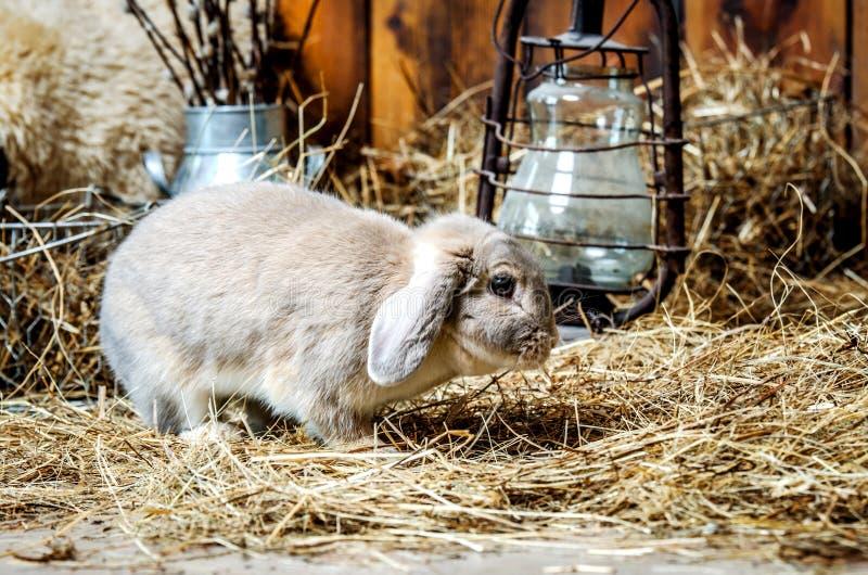 Un pequeño conejo gris camina el piso de la paja foto de archivo