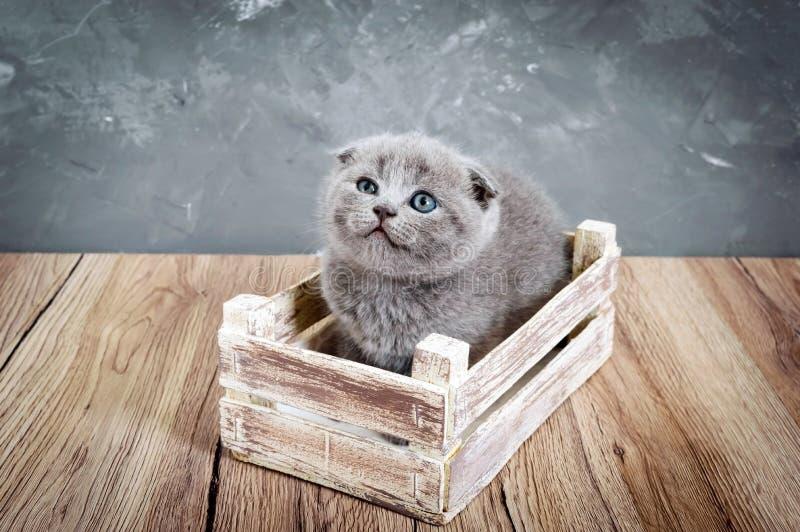 Un pequeño gatito gris del doblez del escocés se sienta en una caja de madera imagenes de archivo