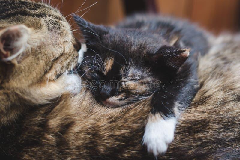 Un pequeño gatito negro con los puntos blancos y rojos está durmiendo en la parte de atrás de su madre foto de archivo