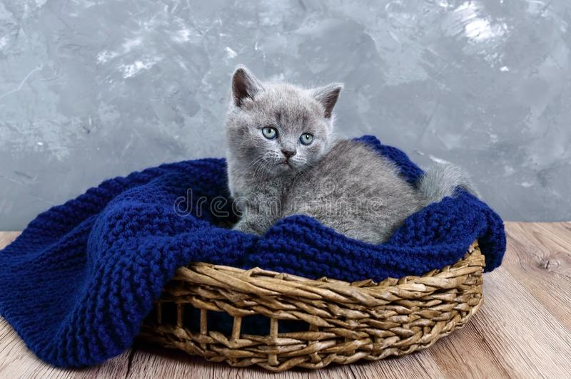 Un pequeño gatito recto escocés gris en una cesta Gatito feliz que mira de cerca imagenes de archivo