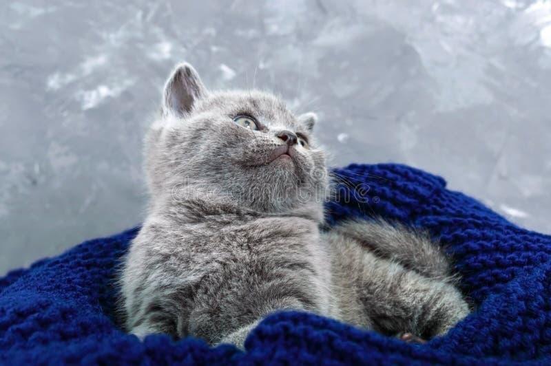 Un pequeño gatito recto escocés gris en una cesta Gatito feliz que mira de cerca foto de archivo