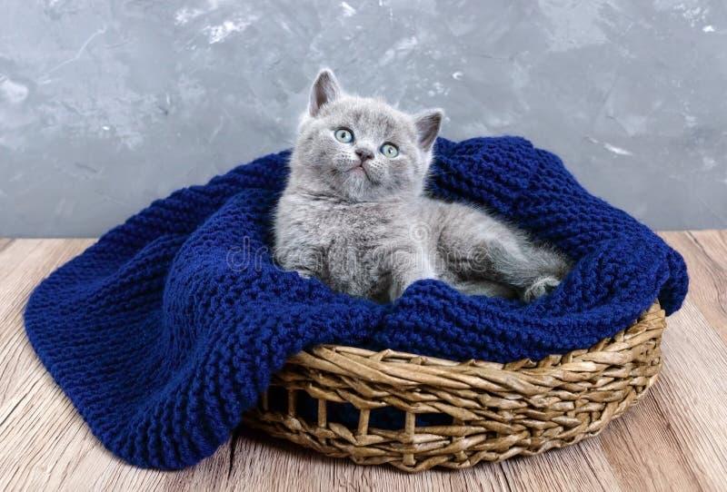 Un pequeño gatito recto escocés gris en una cesta Gatito feliz que mira de cerca fotos de archivo libres de regalías