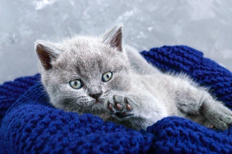 Un pequeño gatito recto escocés gris en una cesta Gatito feliz que mira de cerca fotografía de archivo libre de regalías