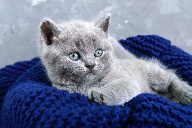 Un pequeño gatito recto escocés gris en una cesta Gatito feliz que mira de cerca imagen de archivo libre de regalías