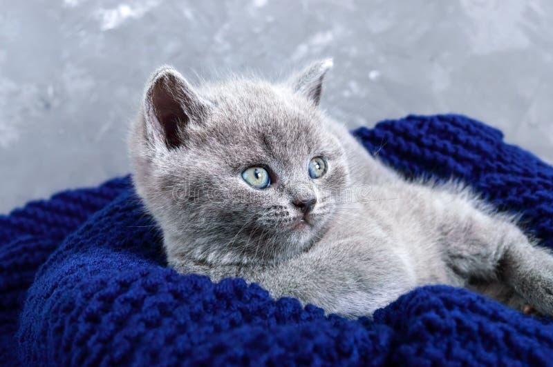 Un pequeño gatito recto escocés gris en una cesta Gatito feliz que mira de cerca imagen de archivo